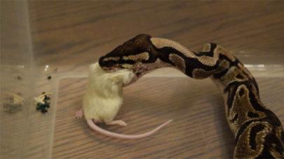Ball-Python-Snake-Feed