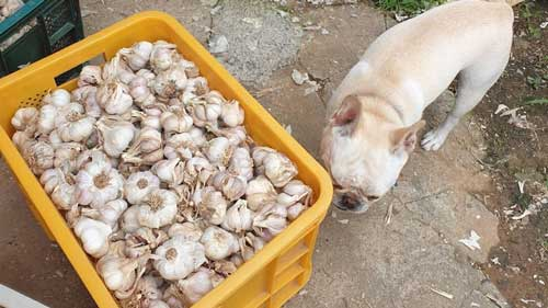 Garlic Safe or Bad for Dogs