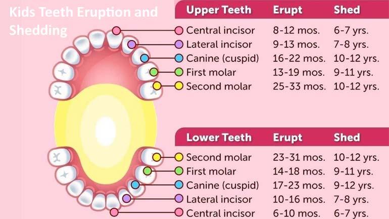 Kids Teeth Eruption And Shedding